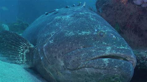 goliath grouper shutterstock