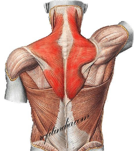 The back is found posteriorly and includes the vertebral column, the muscles that support the back despite having functionally different roles, the basic anatomy of each vertebra is very comparable. Back Anatomy | Best Back Workout | Lower back Pain | 5 ...
