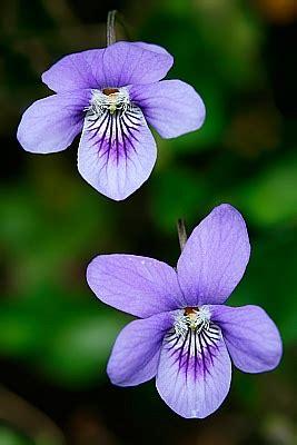 imagenes de flores  plantas violeta