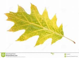 Single Autumn Leaf Stock Image - Image: 11509721