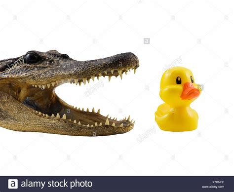 Crocodile Teeth Bird Stock Photos & Crocodile Teeth Bird