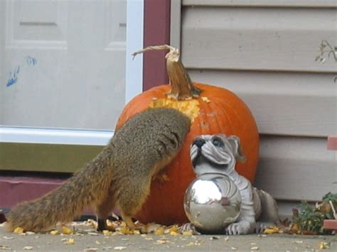 Does Hairspray Keep Squirrels Away From Pumpkins by How To Keep Squirrels From Eating Your Halloween Pumpkins