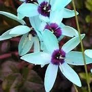 Flor Ixia   Flores - Cultura Mix