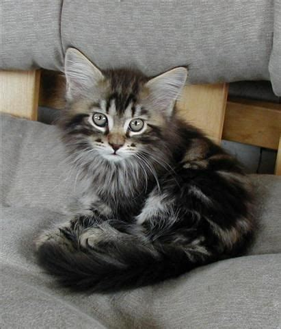 maine coon kittens ideas  pinterest maine
