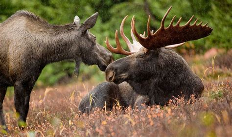 Animals You Will Find In Canada Wildlife In Canada