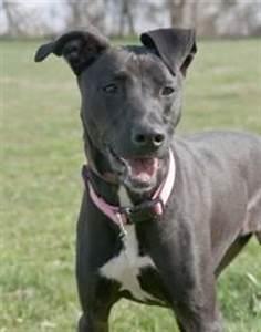 Greyhound and Lab Mix Dogs | Labrador Retriever/Greyhound ...