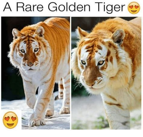 Awe The Size This Golden Tiger Lad Absolute Unit