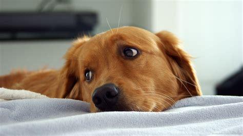 Cute Golden Retriever Wallpaper Dogs Wallpaper 35950334