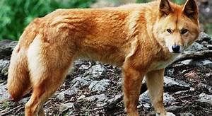 dingo, dog, wallpaper
