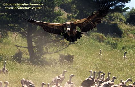 Vultures of the Spanish Pyrenees   ScotNature