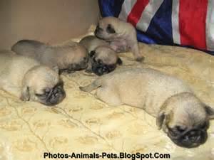 Pug Dog Nursing Baby