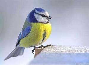 Oiseau Jaune Et Bleu : la m sange bleue endroits visiter pinterest m sange bleue mesange et bleu ~ Melissatoandfro.com Idées de Décoration