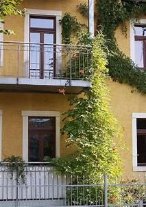 Pflanzen Sichtschutz Balkon : campsis tagliabuana klettertrompete pflanzen am balkon ~ Eleganceandgraceweddings.com Haus und Dekorationen