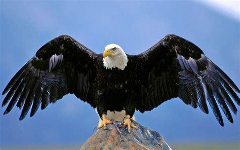 bald eagle spread wings desktop hd wallpaper  pc tablet