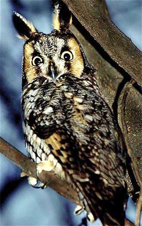 long eared owl camouflaged nocturnal forest bird animal pictures  facts factzoocom