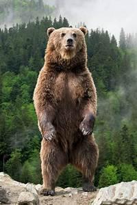 How big is a Kodiak Bear's paw? - Quora  Grizzly