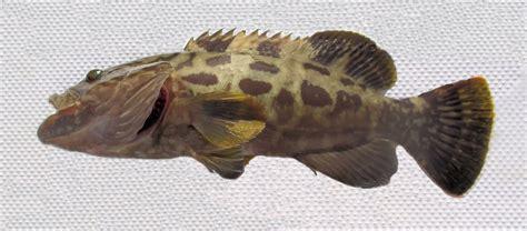 fish grouper gulf juvenile caught length mexican mexico jordani waters mycteroperca coastal california