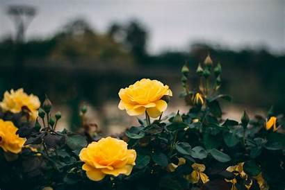 Rose Yellow Flowers Bush Unsplash Wallpapers Backgrounds