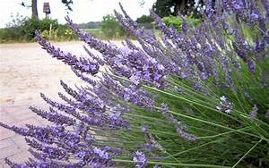 Lavendel Sorten übersicht : provence lavendel 39 felibre 39 pflanze lavandula x intermedia lavendel labkraut lungenkraut ~ Eleganceandgraceweddings.com Haus und Dekorationen