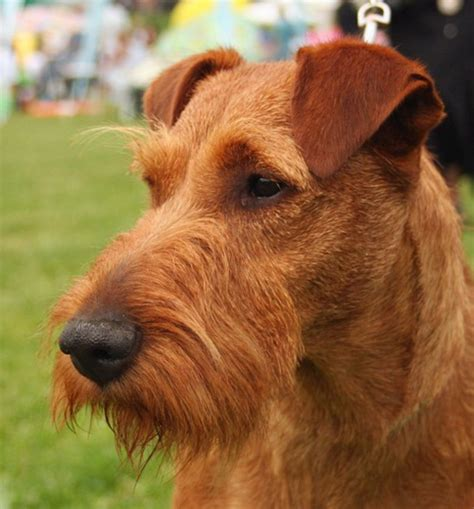 the irish terrier is a dog breed from ireland one of many