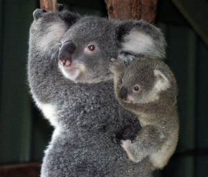 Mother and Baby Koala Bear | Blueiskewl