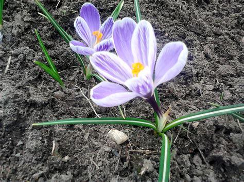 Im Frühjahr by Blumen Im Fr 252 Hjahr Krismaso Photogallery