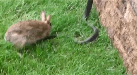 rabbit gif find share  giphy