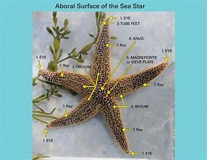 Sea Stars  Starfish   Anatomically Speaking