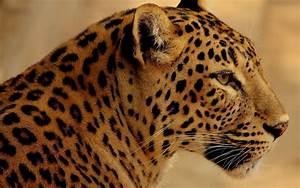 Jaguar HD Wallpaper   Background Image   1920x1200   ID ...