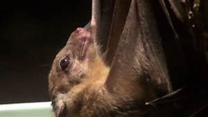 エジプトルーセットオオコウモリ Egyptian Rousette Bat Egyptian Fruit Bat ...