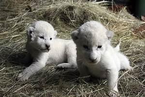 Image Gallery liger cubs wild