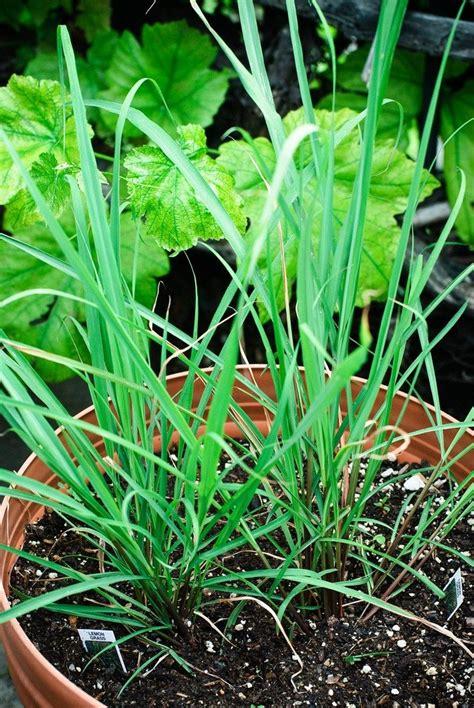 information  tips  growing lemongrass plants