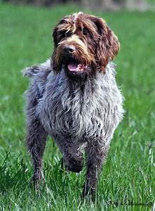 Wirehaired Pointing Griffon - Wikipedia
