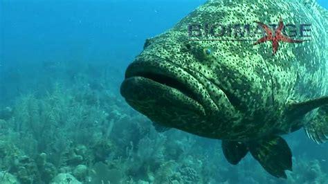 mero grouper goliath attack gigante el