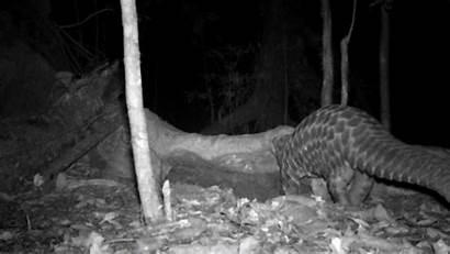 Pangolin Giant Camera Caught Trap Dja Burrow