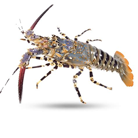 There are plenty of benefits available from eating. North Australian - Supreme Lobster