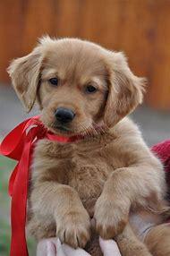10 Week Old Golden Retriever Puppy