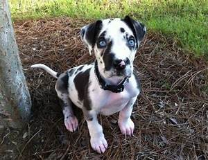 Great Dane Blue Eyes | www.pixshark.com - Images Galleries ...