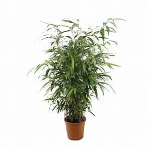 Bambous En Pot : pseudosasa japonica pot 10l autres marques jardinerie ~ Melissatoandfro.com Idées de Décoration