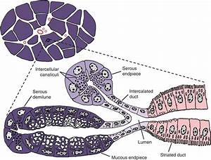 11  Salivary Glands  Salivary Secretion  And Saliva