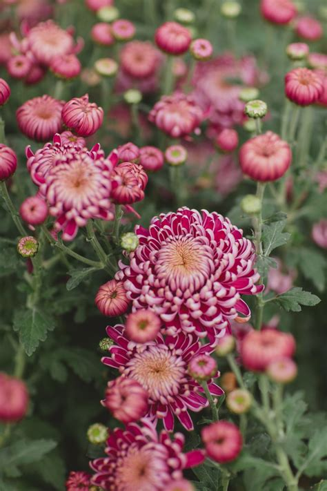 Top Tips for Arranging Mums | Flower Magazine