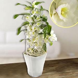 Luftwurzeln Bei Orchideen : orchideen mit blume2000 versenden blume2000 orchidee online kaufen ~ Frokenaadalensverden.com Haus und Dekorationen