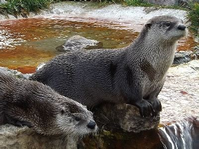 otter north american river otter information  kids