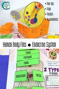 Endocrine System Human Body Files  With Images
