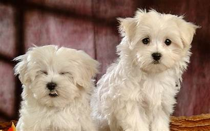 Dogs Bichon Frise Breed Funny Wallpapers Dog