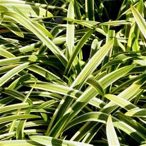 agapanthus variegated san marcos growers gt products gt plant images alphabetical