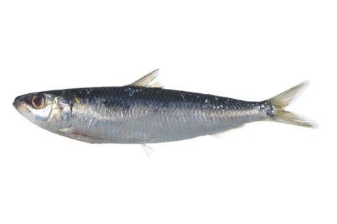 sardinella