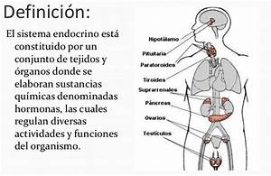 Qué es el sistema endocrino Sistema endocrino