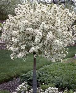 ornamental trees for fort collins at just trees fort collins co