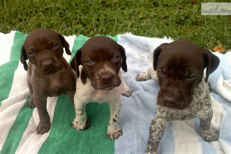 German Shorthaired Pointer puppy for sale near Vermont